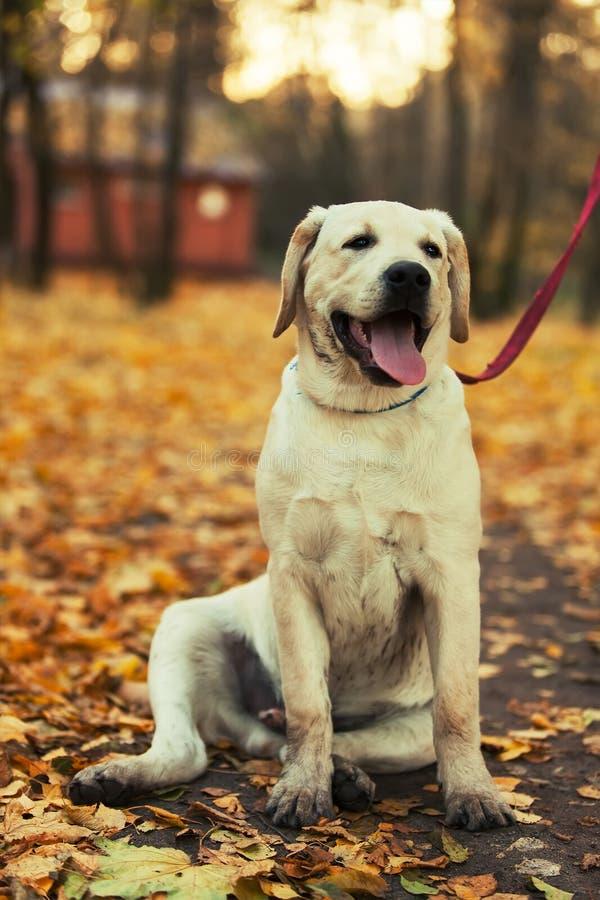 拉布拉多猎犬在公园 库存照片