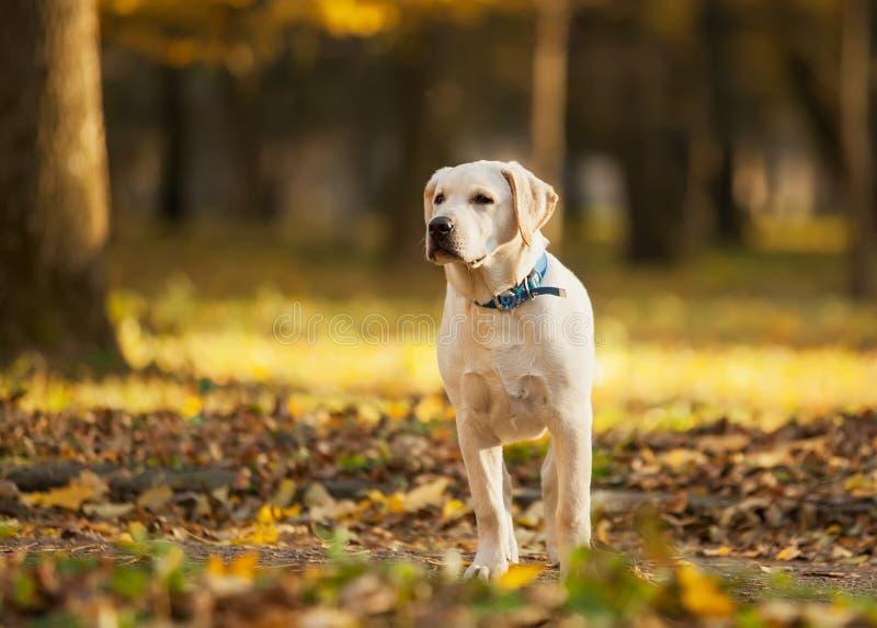 拉布拉多猎犬在公园 免版税库存图片