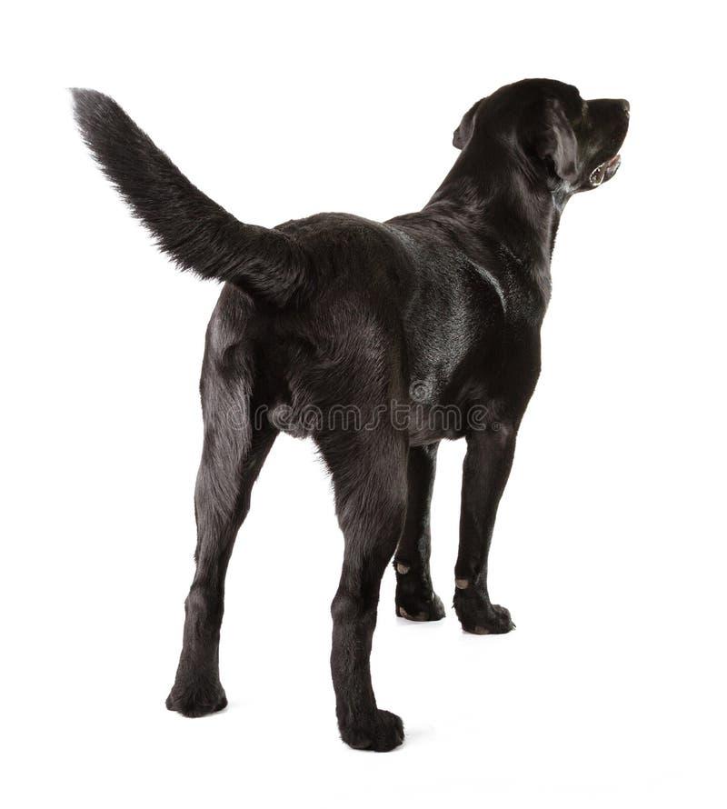 黑拉布拉多猎犬 库存图片