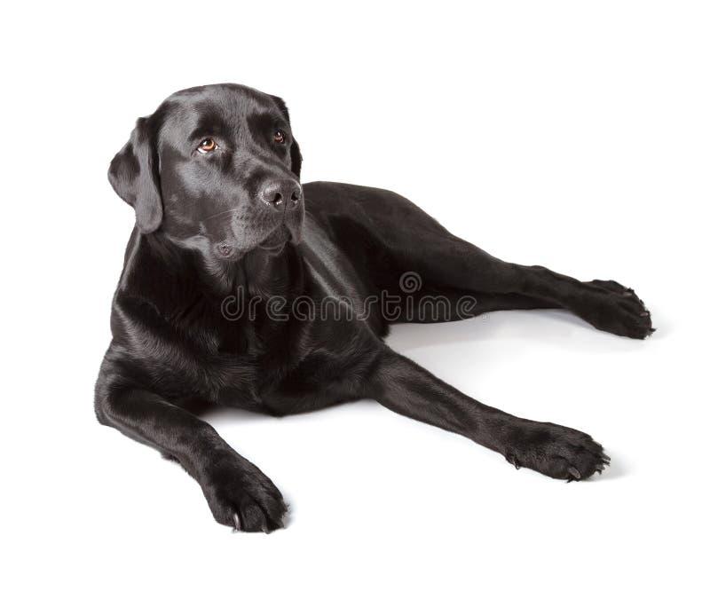 黑拉布拉多猎犬 免版税库存照片