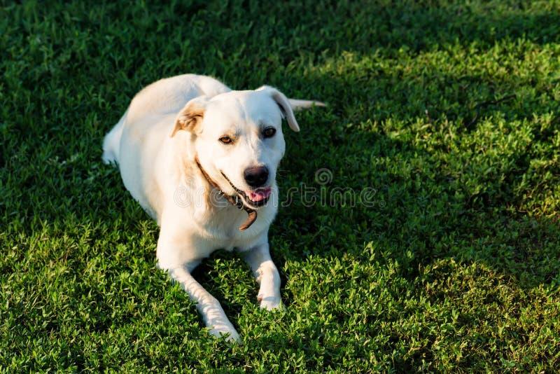 拉布拉多猎犬在草说谎 库存照片