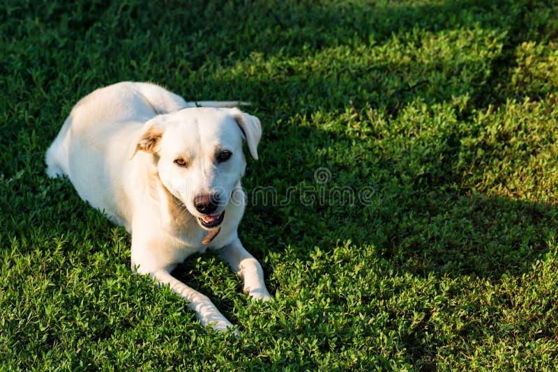 拉布拉多猎犬在草说谎 免版税库存照片