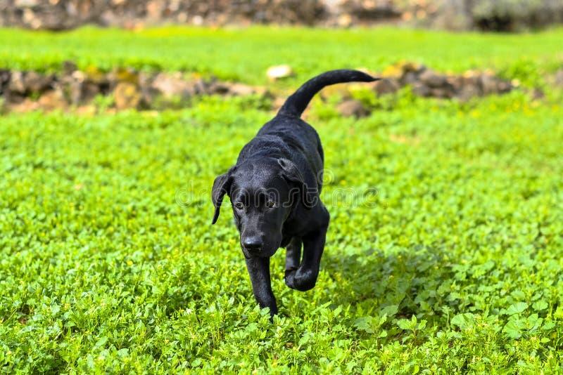黑拉布拉多猎犬奔跑 免版税库存图片