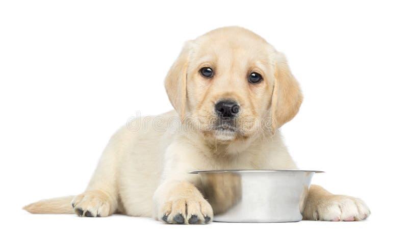 拉布拉多猎犬小狗, 2个月,躺下与金属狗碗 库存图片