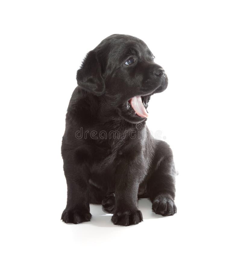 黑拉布拉多猎犬小狗 图库摄影