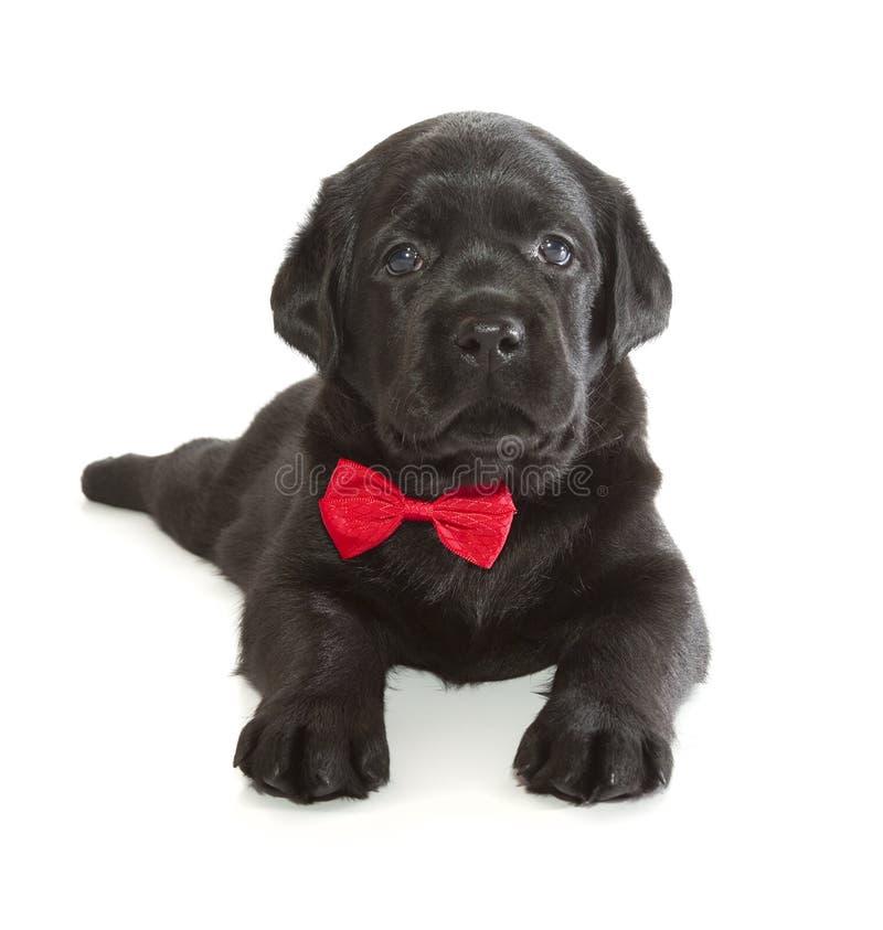黑拉布拉多猎犬小狗 免版税库存照片
