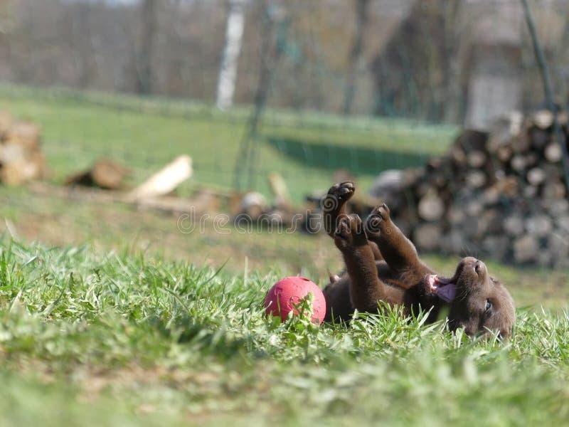 拉布拉多猎犬巧克力小狗跌倒与球 库存照片