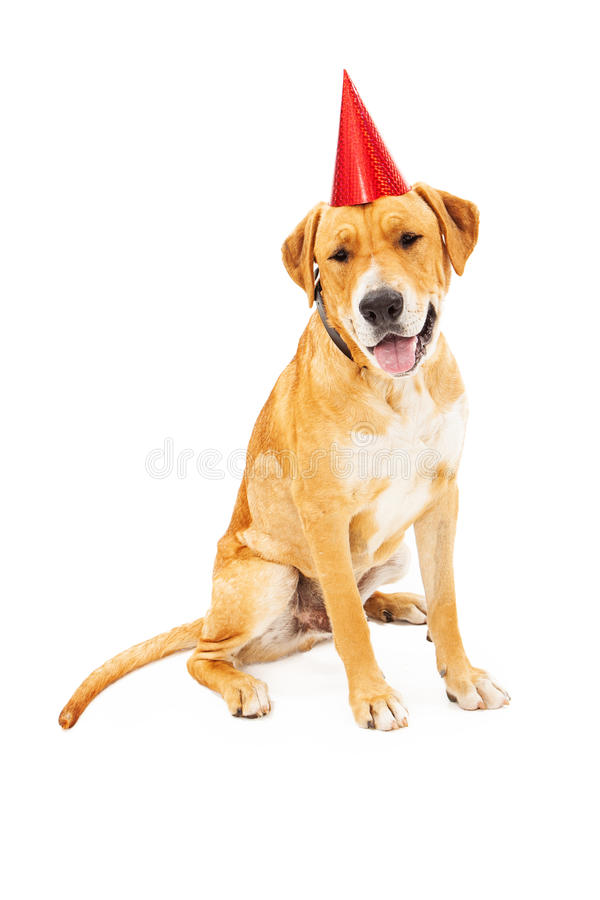 拉布拉多猎犬狗佩带的生日帽子 免版税库存照片