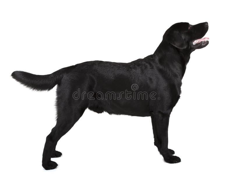 黑拉布拉多猎犬 免版税图库摄影