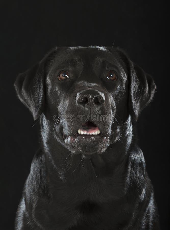 黑拉布拉多猎犬 图库摄影