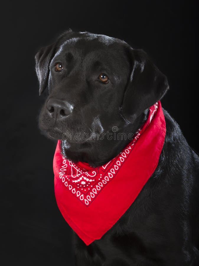 黑拉布拉多猎犬 免版税库存图片
