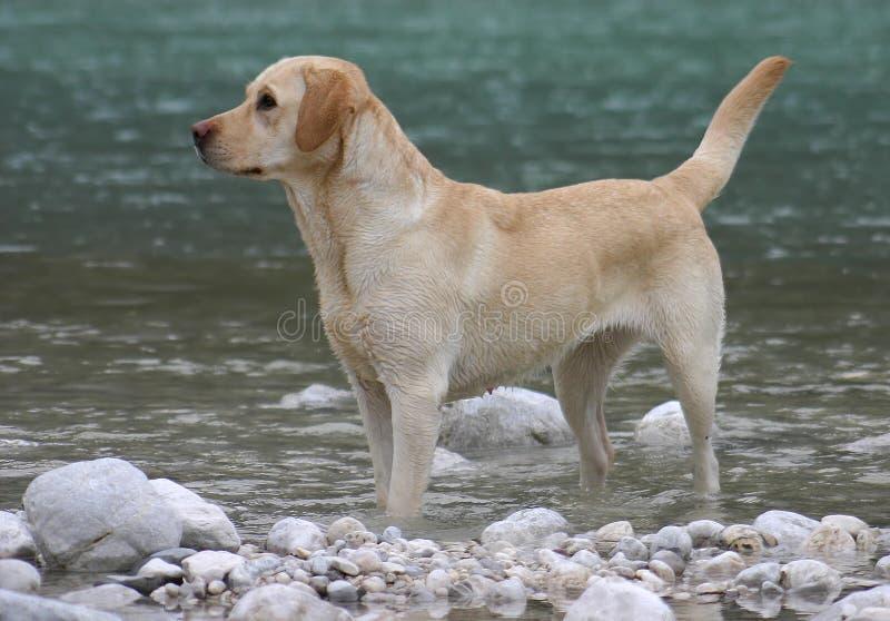 拉布拉多猎犬 免版税库存图片