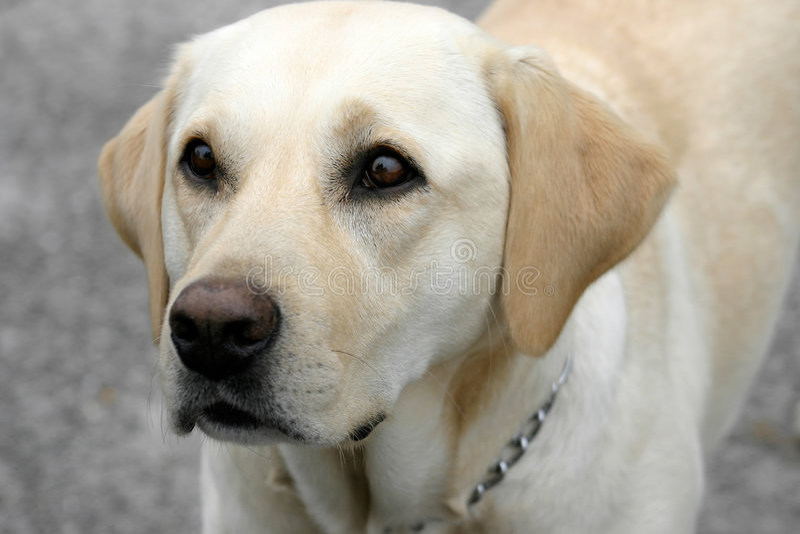 Download 拉布拉多猎犬 库存照片. 图片 包括有 被攻击的, 耳朵, 空白, 拉布拉多, 茴香, 获得, 等待, 逗人喜爱 - 54476