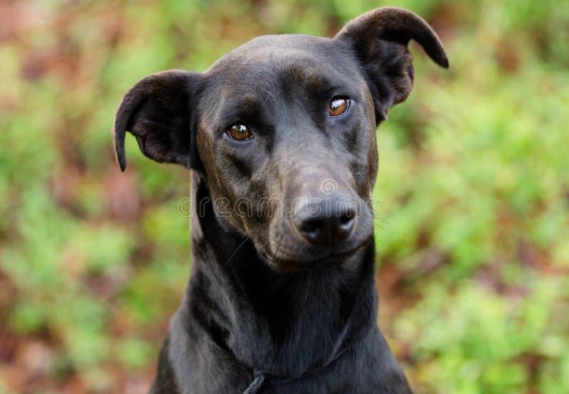 黑拉布拉多短毛猎犬被混合的品种狗. 敌意, 采用的.
