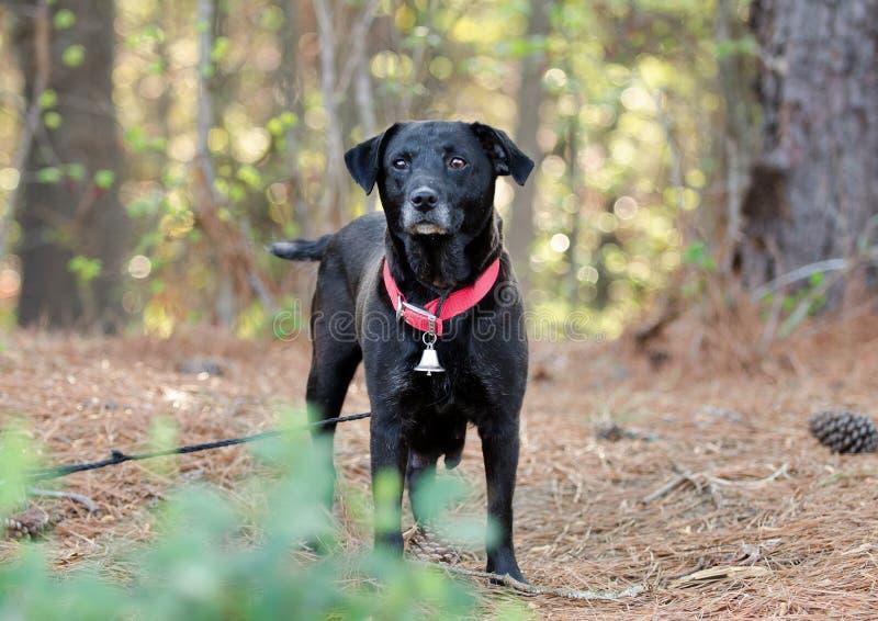 黑拉布拉多被混合的品种狗 免版税库存图片
