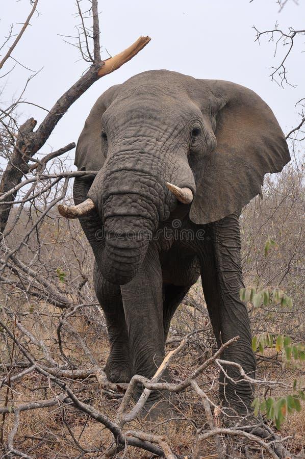 拉扯在快餐的树枝下的大象 免版税库存照片