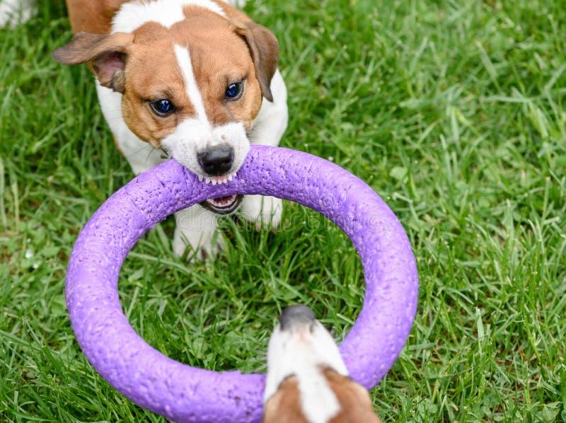 拉扯玩具的恼怒的狗打拔河比赛 库存图片