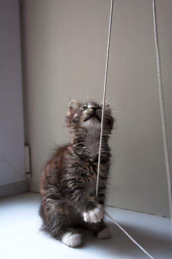 拉扯绳子的小平纹小猫 免版税图库摄影