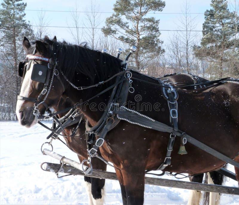 拉扯雪橇的马通过森林 库存图片
