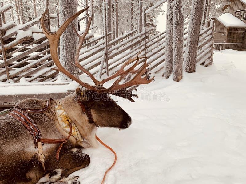 拉普兰驯鹿 免版税库存照片