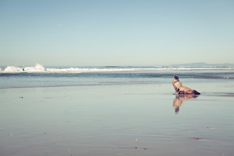 索拉纳海滩封印 免版税库存图片