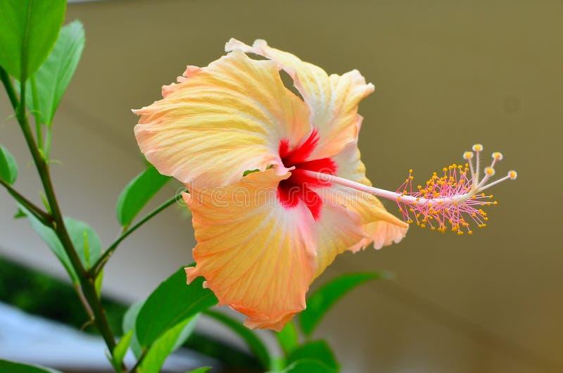 拉罗通加,库克群岛,木槿开花,延伸了雄芯花蕊 库存照片