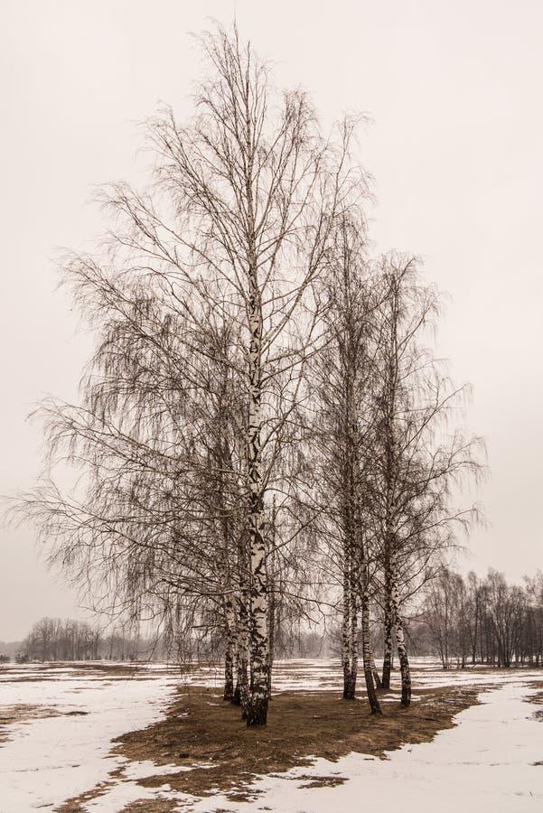 拉脱维亚桦树在冬天 库存图片