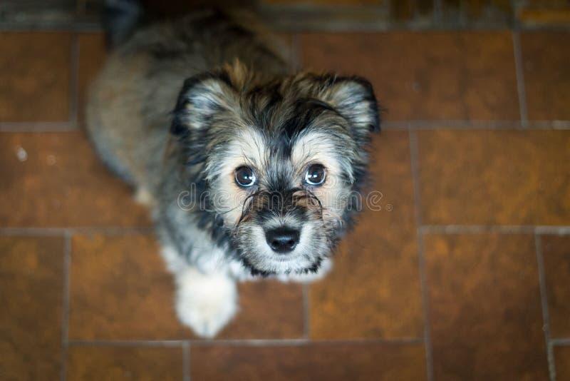 拉萨apso小狗suggar褐色 免版税库存照片