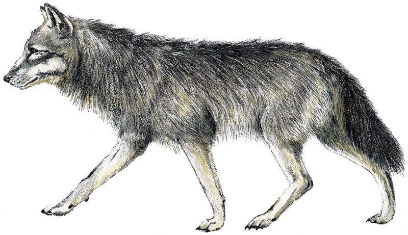 拉长的狼 皇族释放例证