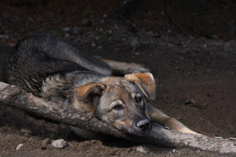 拉雪橇狗放松 免版税库存照片