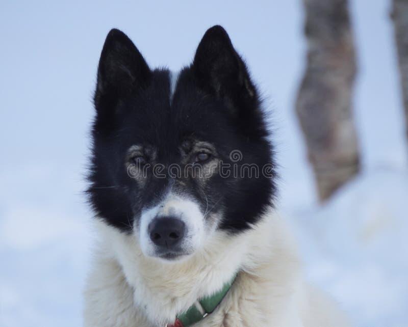 拉雪橇狗特写镜头 库存照片