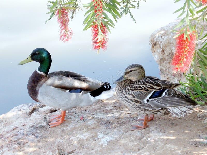 Download 拉马干公园德雷克和鸭子2007年 库存照片. 图片 包括有 空白, 春天, 虚拟, beauvoir, 绿色 - 59103764