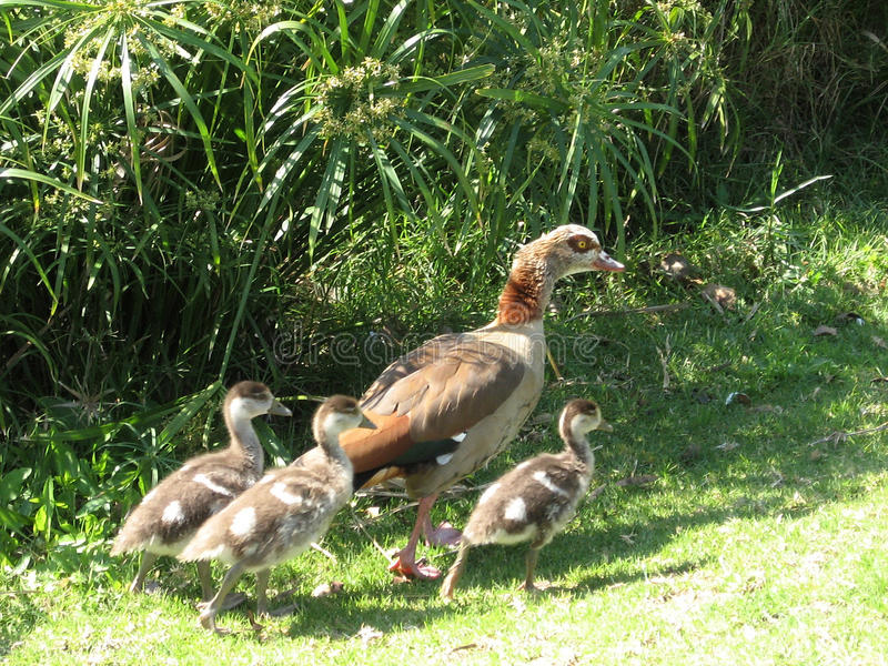 拉马干公园母亲鸭子和鸭子2007年 库存照片