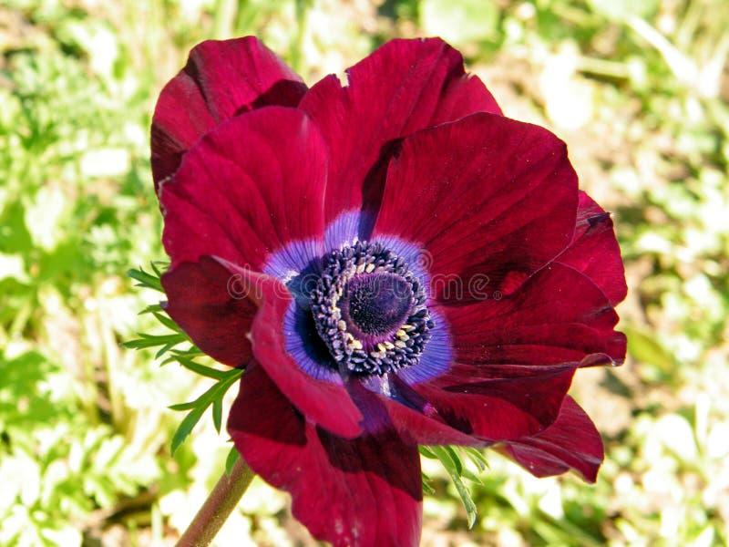 拉马干公园红色冠银莲花属2011年2月 免版税库存图片