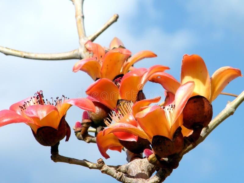 拉马干Wolfson公园木棉树木棉树2011年 库存图片
