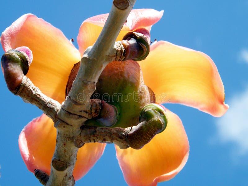 拉马干Wolfson公园木棉树木棉花2011年 库存照片