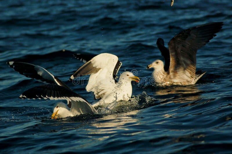 拌嘴的海鸥 库存照片