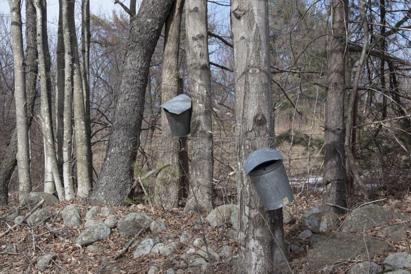 轻拍为糖浆的槭树 免版税库存照片