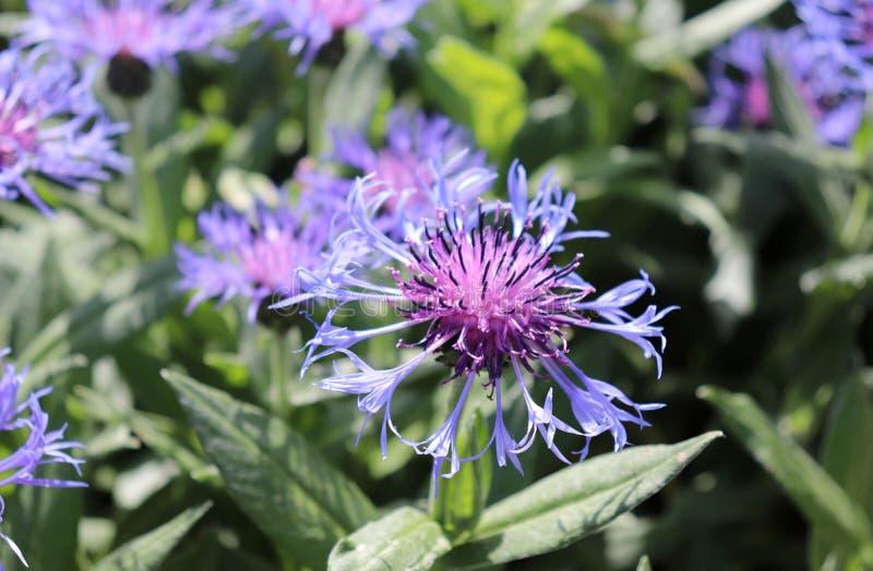 拍摄紧密蓝色矢车菊,生长在庭院里,春天 库存图片
