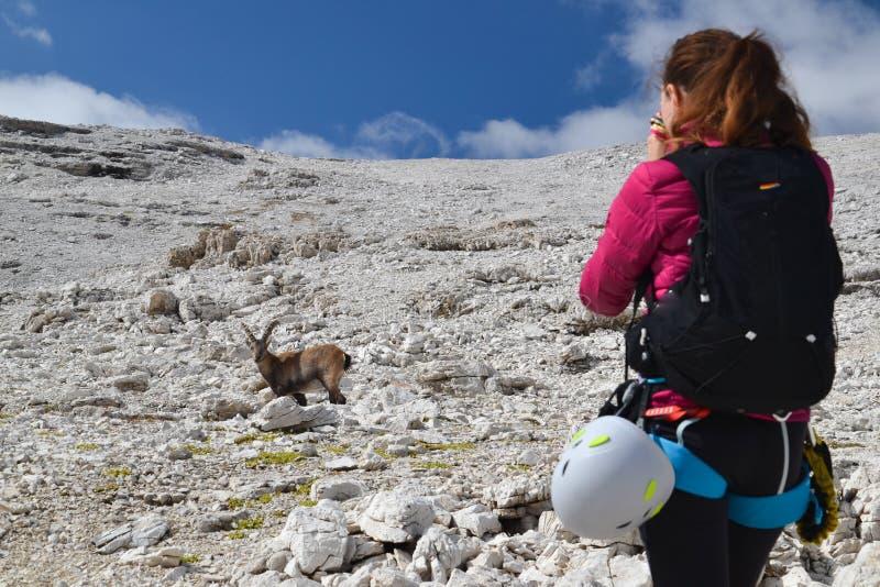 拍摄高地山羊的女性爬山者 库存照片