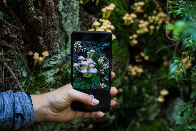 拍照片的妇女手对与一个智能手机的蘑菇在森林里 库存照片