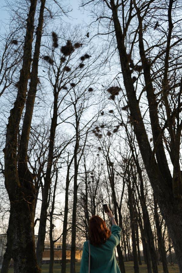 拍白嘴鸦的照片年轻女性鸟类学家筑巢高在树在春天-包斯卡,拉脱维亚,2019年 免版税库存图片