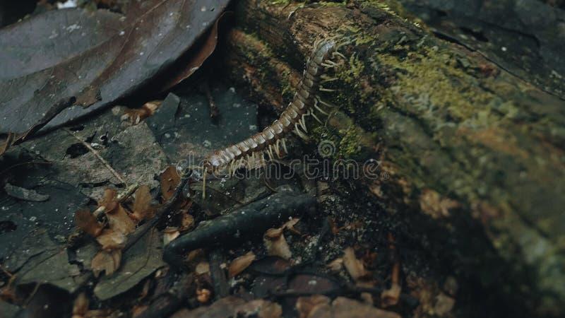 拖拉机千足虫别名Polydesmida横跨与红色天鹅绒小蜘蛛寄生生物的森林地板走在他的 库存图片
