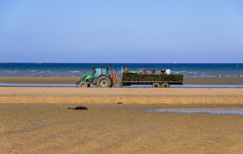 拖拉机驾驶有牡蛎收获犹他海滩的,诺曼底,法国地方牡蛎农厂工人 库存图片
