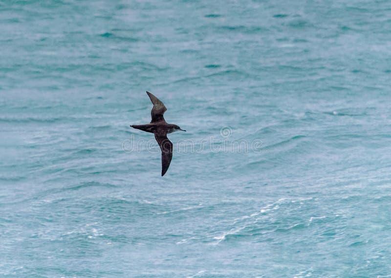 拜雷阿尔斯海鸥类飞鸟,在飞行中Puffinus mauretani 免版税库存图片