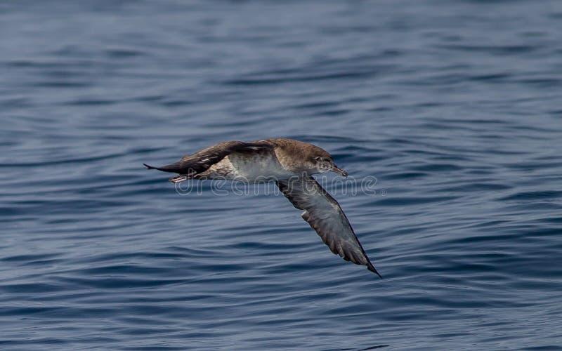拜雷阿尔斯海鸥类飞鸟Puffinus Mauretanicus 库存图片
