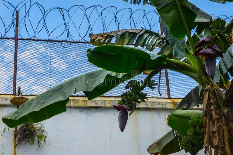围拢由与美丽的蓝天的铁丝网的香蕉树当在北加浪岸拍的背景照片印度尼西亚 免版税库存照片