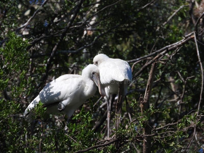 拥抱在分支的两只爱恋的篦鹭鸟 库存图片