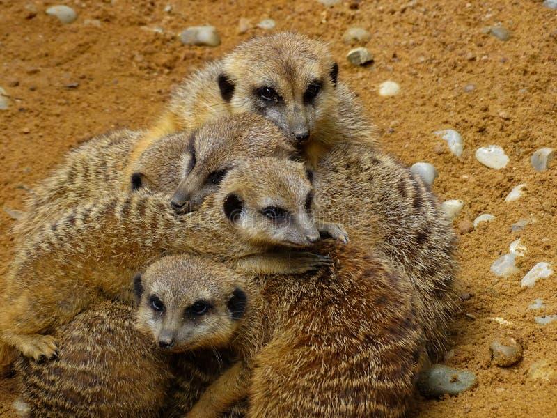 拥抱在动物园里的Meerkats在巴伐利亚 库存照片