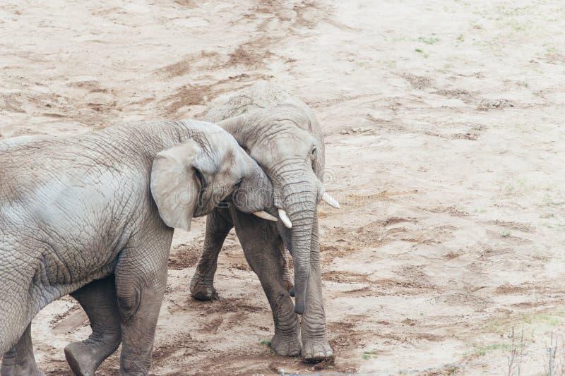 拥抱大象 库存照片